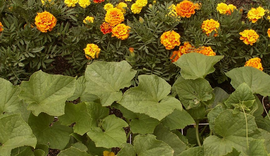 Companion Planting | myhumblekitchen.com