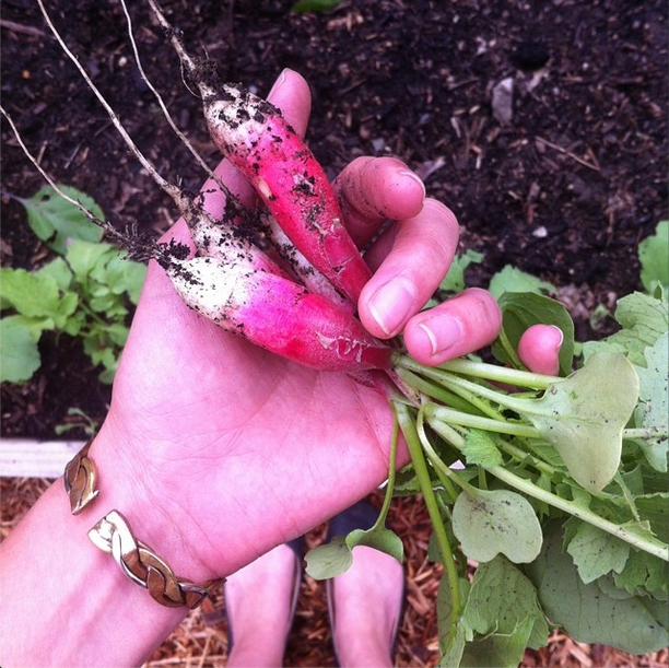 Fresh Harvested Radishes