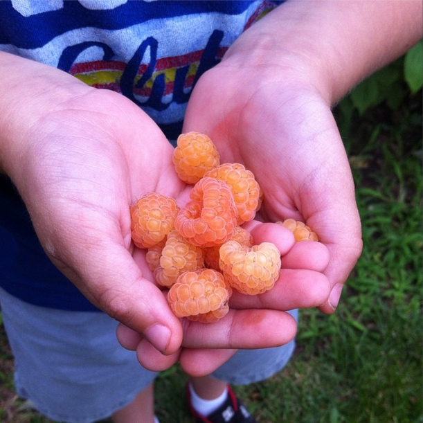 Fresh Harvested Golden Raspberries