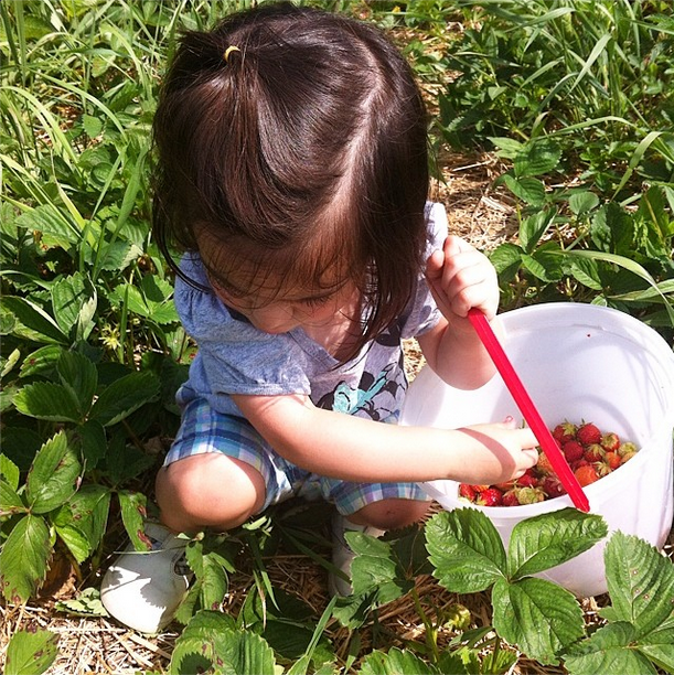 Picking strawberries at a u-pick farm.