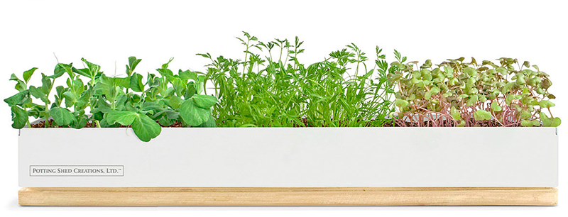 Grow Microgreens Indoors this Winter